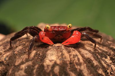 vampire crab with bright red claws sits on log