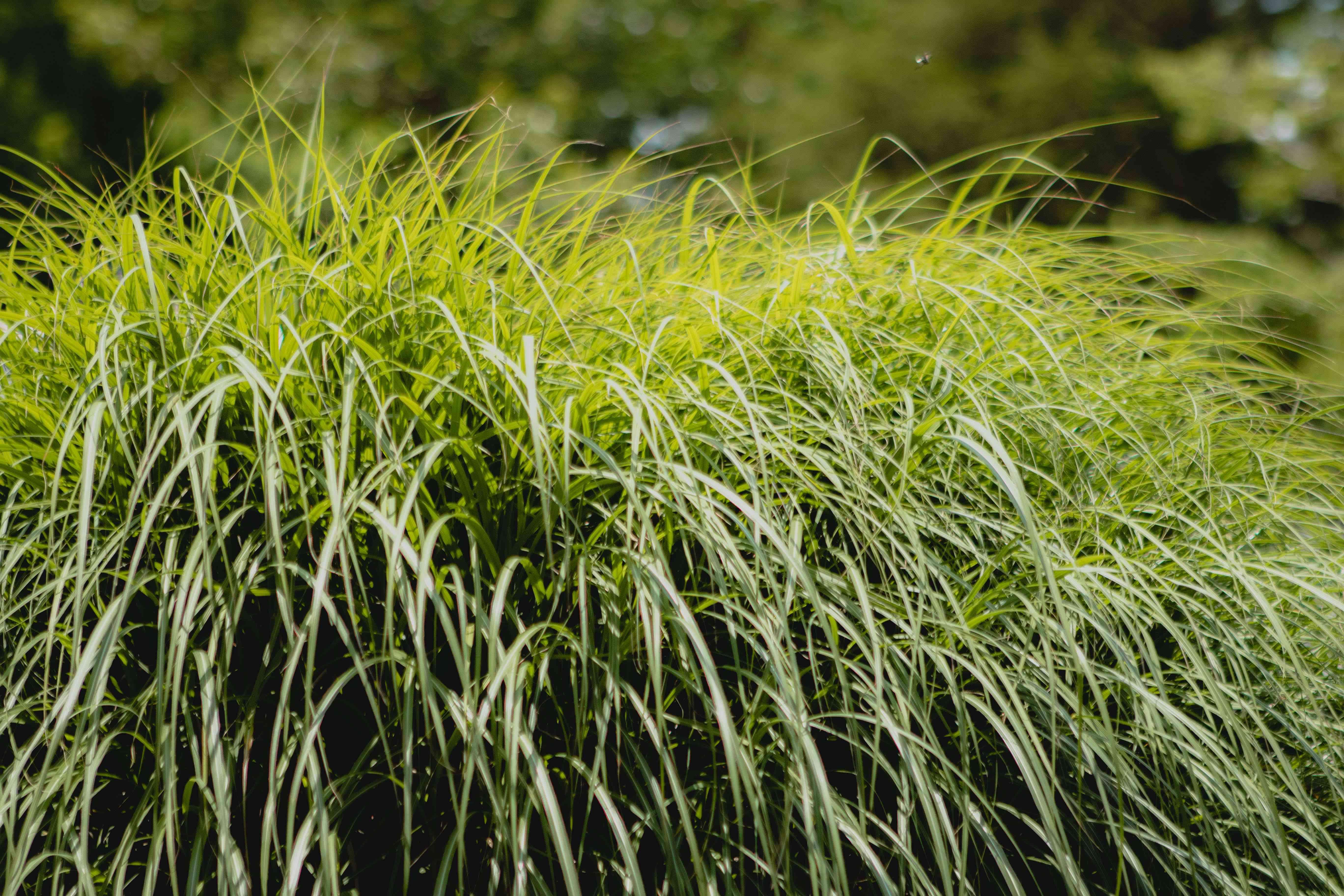 large bush of lemongrass outside in full sun