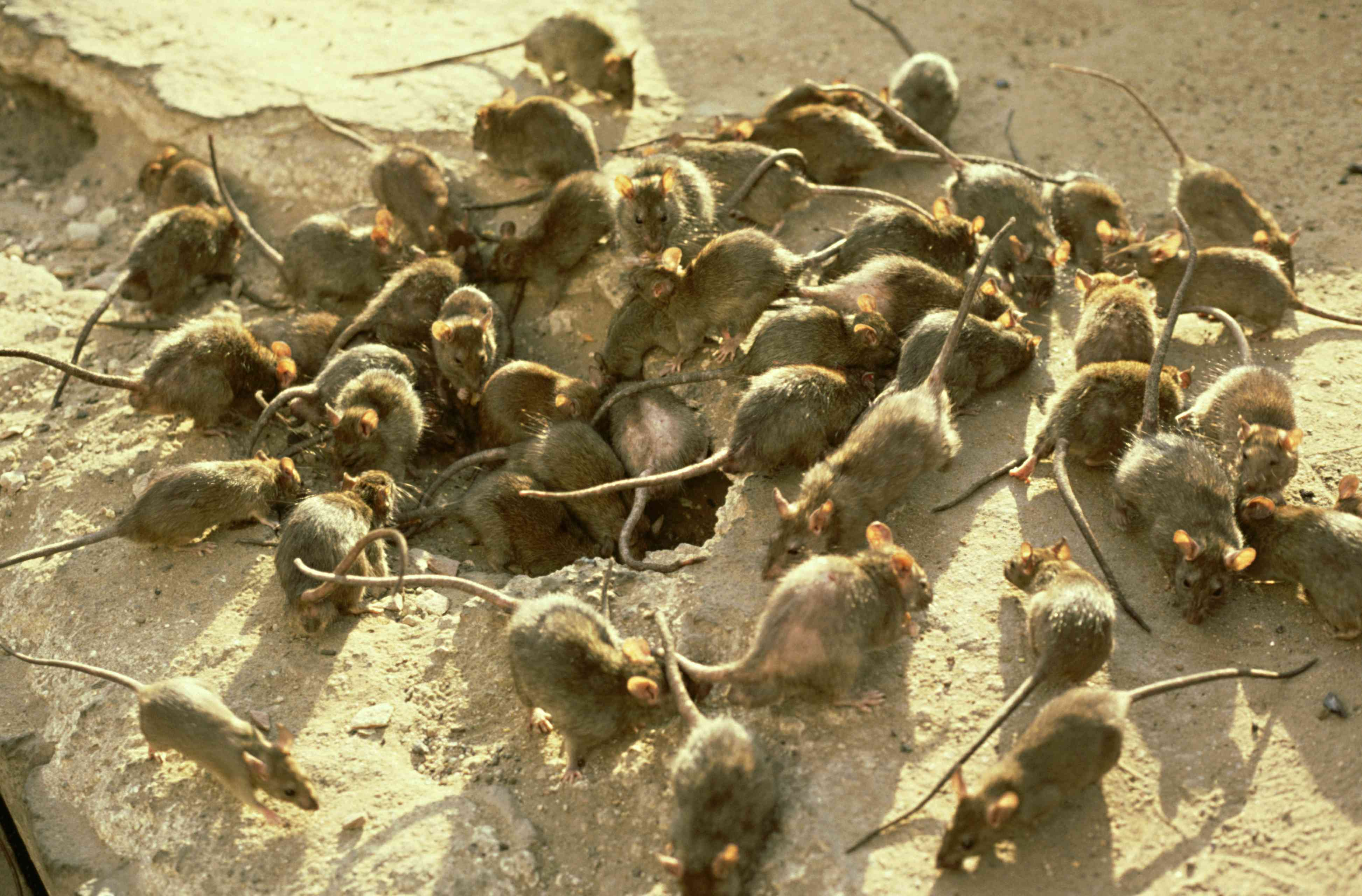 large group of grey rats on ground stripped of vegetation