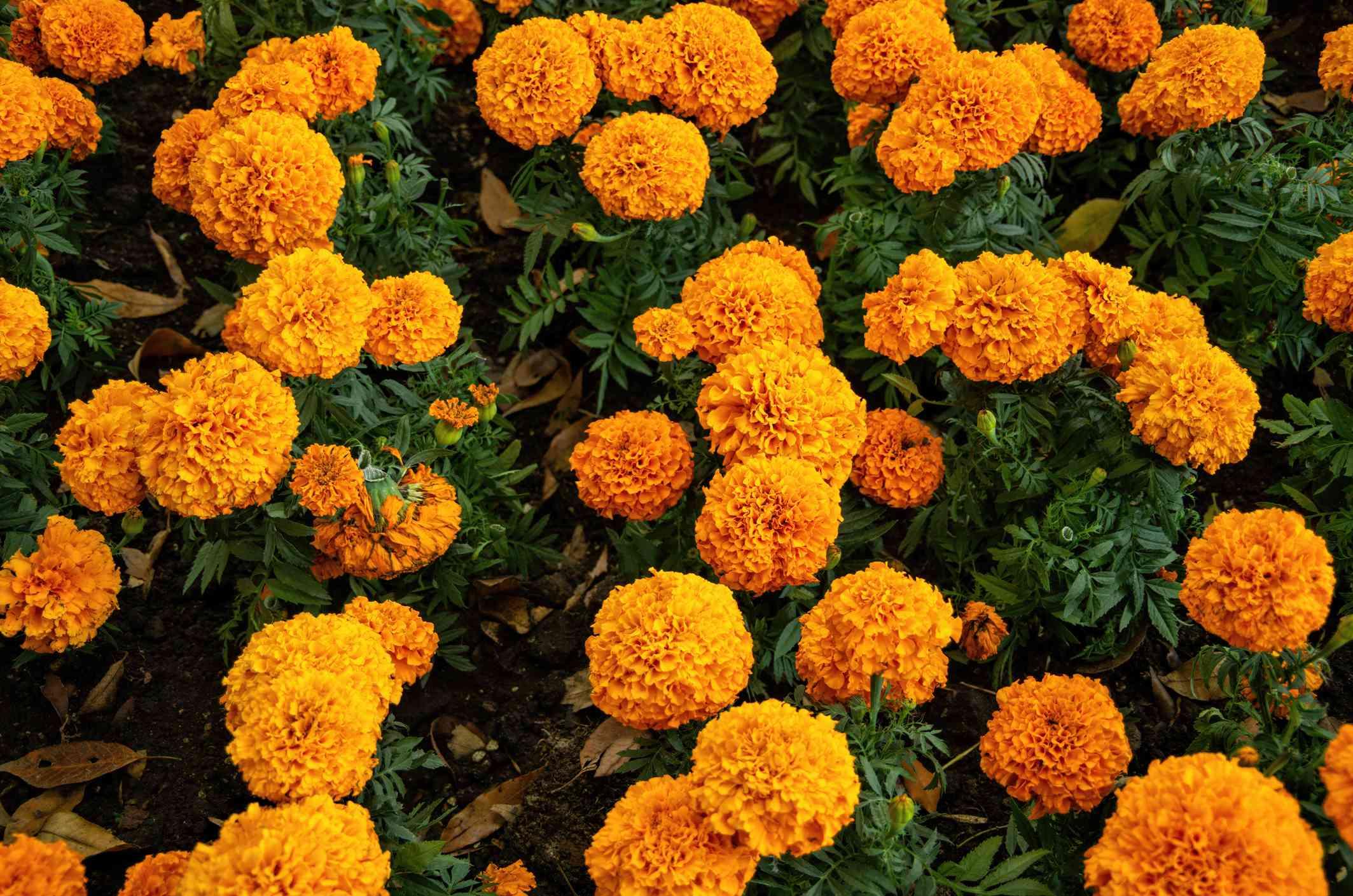 Flowerbed of marigolds