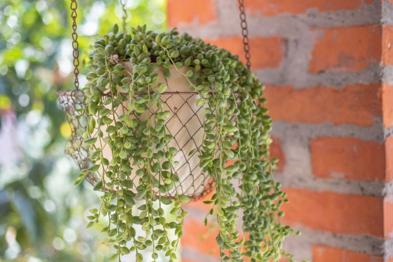 hanging wire basket filled with string of pearls succulent near brick column outside