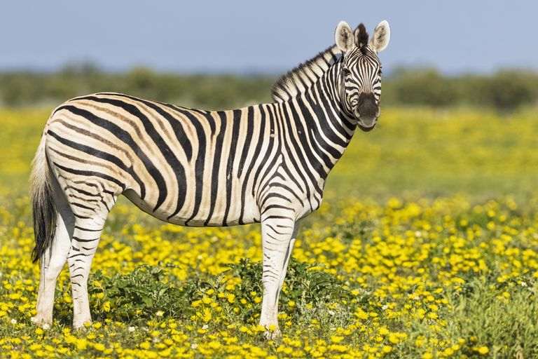 A plains zebra standing in a field of yellow flowers