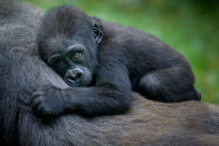 Shinda el gorila sorprende con 'Miracle' Baby