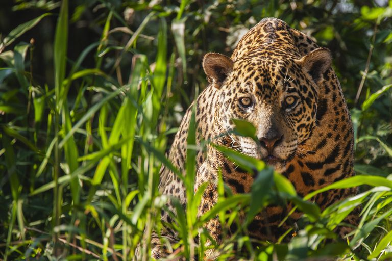 A wild jaguar in the Pantanal is watchful while laying in thick vegetation along the river bank of t