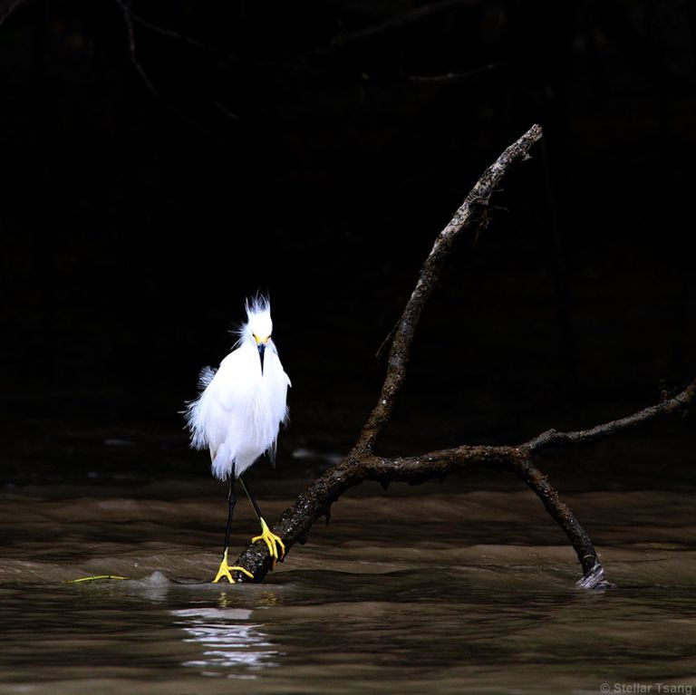 Snowy egret standing on a tree limb against a dark background