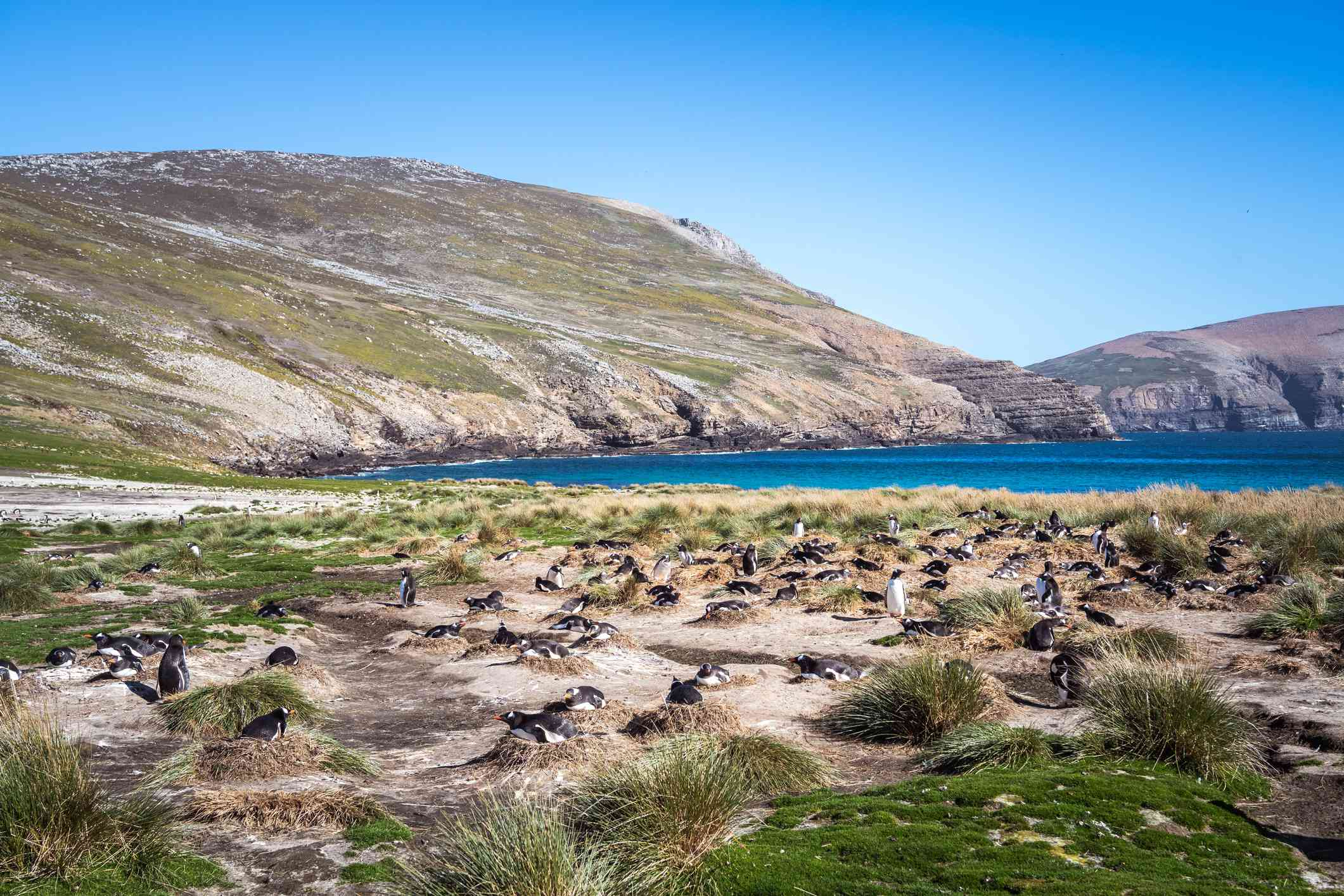 A colony of gentoo penguins nests between tufts of grass on a beach