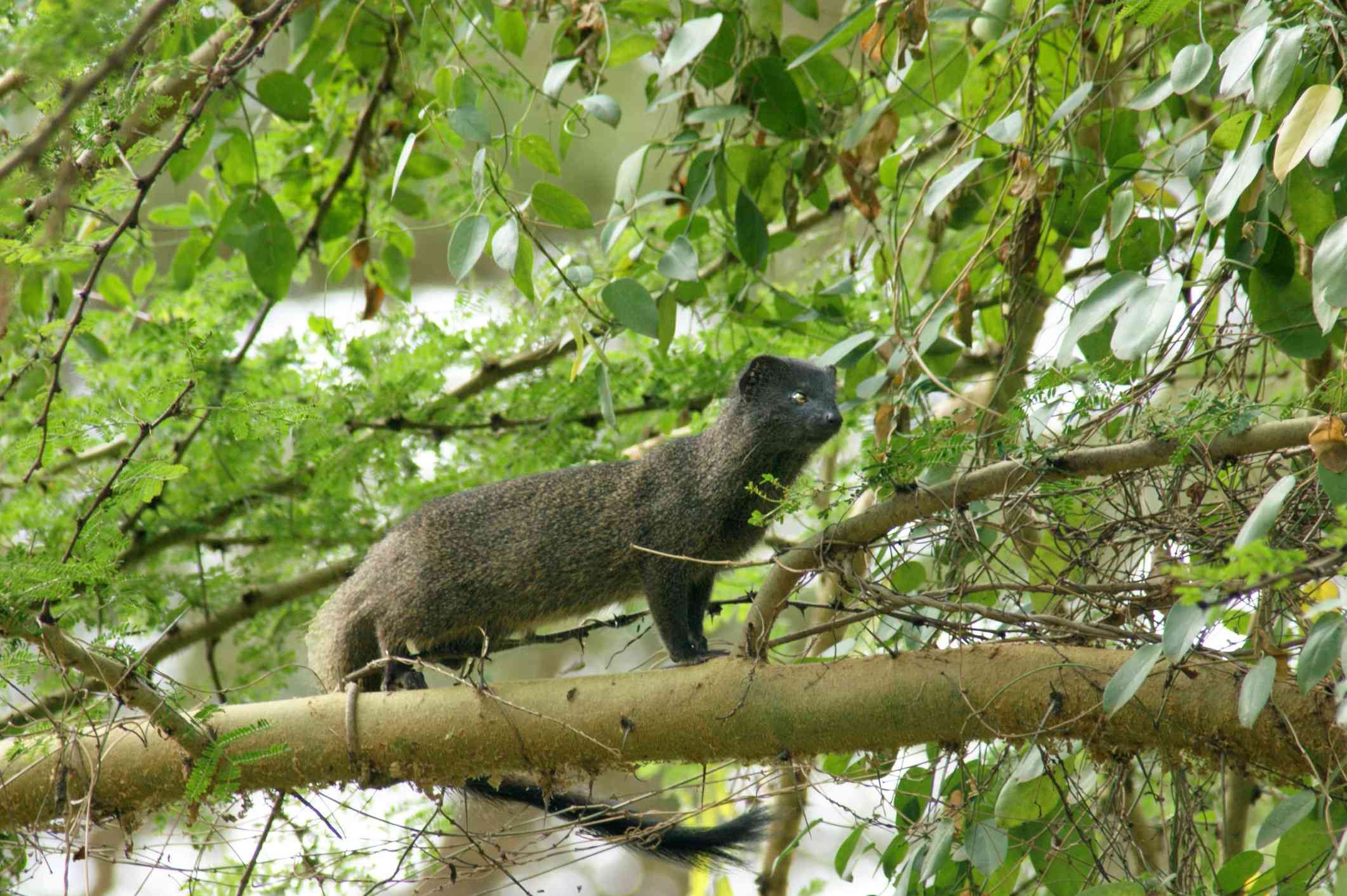 marsh mongoose on a branch near a river