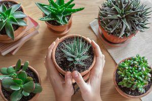 hands hold succulent in terra cotta pot