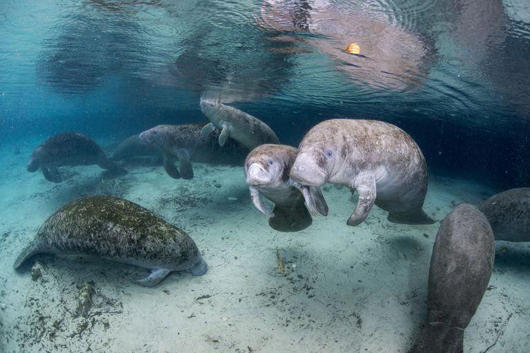 Florida manatees gathered at Crystal River National Wildlife Refuge