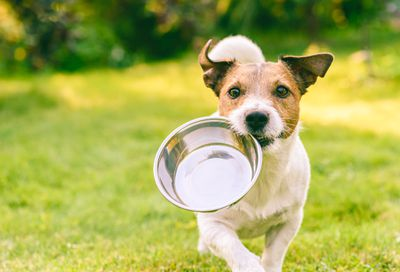 dog fetches metal bowl