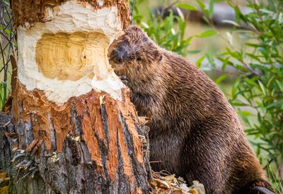 American beaver chewing on a tree trunk