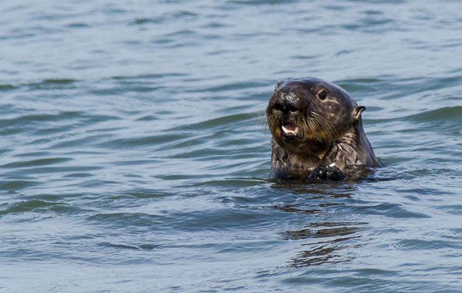 Sea otter peeks out from the water at Moss Landing
