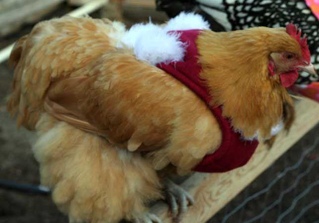A copper hen wears a red sweater