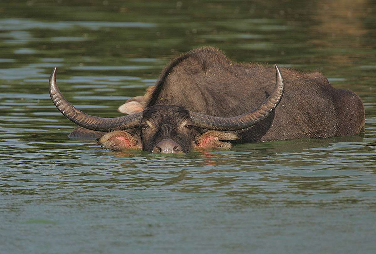 A bull water buffalo half submerged in water with its curved horns, eyes, and nose above water.