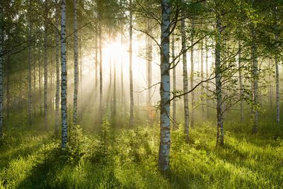 A forest of birch trees
