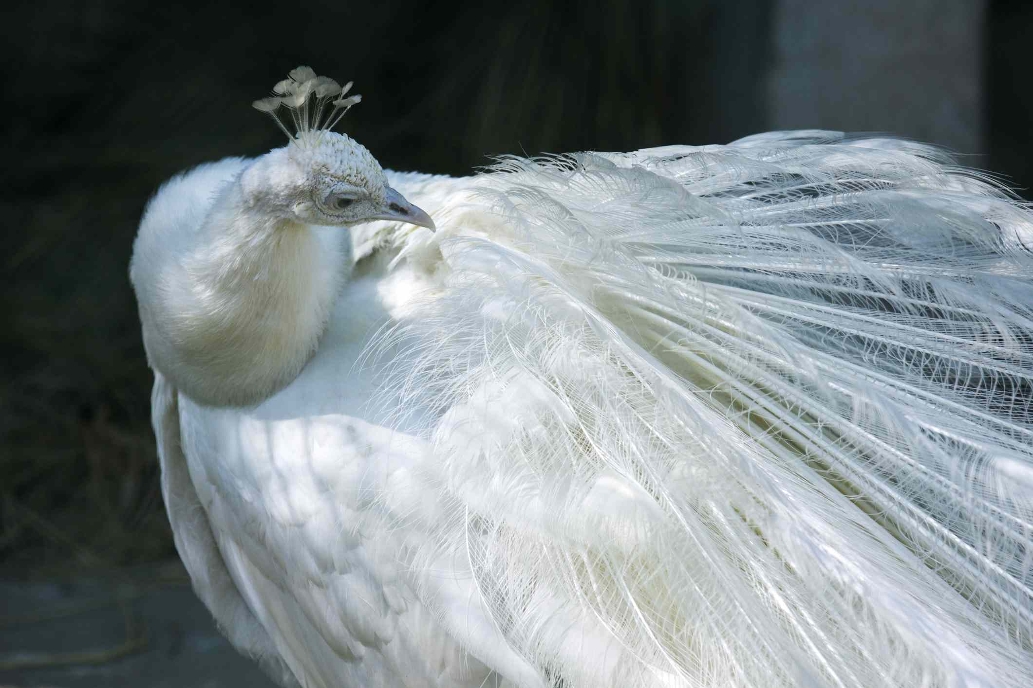 A white Albino peacock with its feathers tucked in.