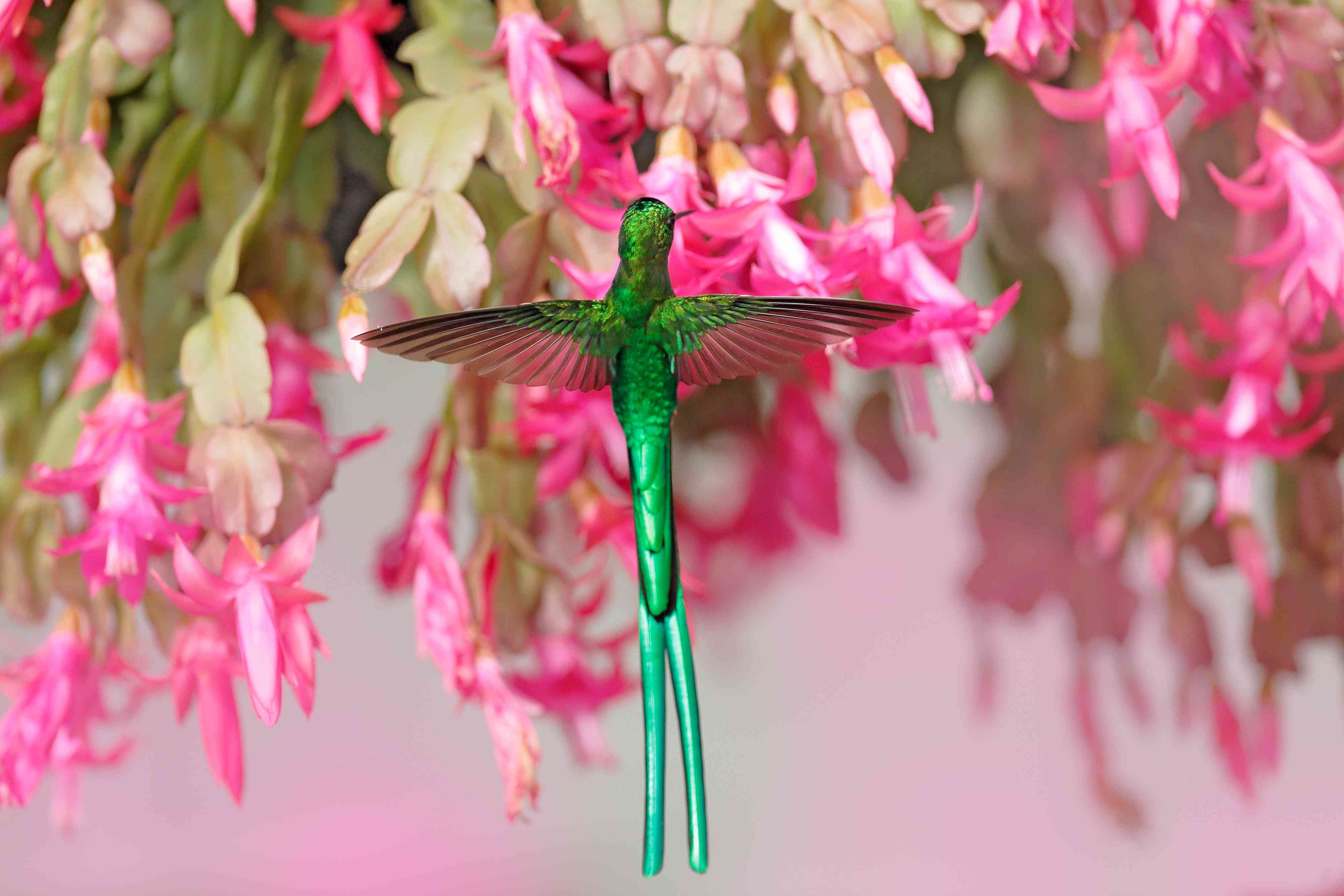 Back of a long-tailed sylph sucking nectar from pink flowers