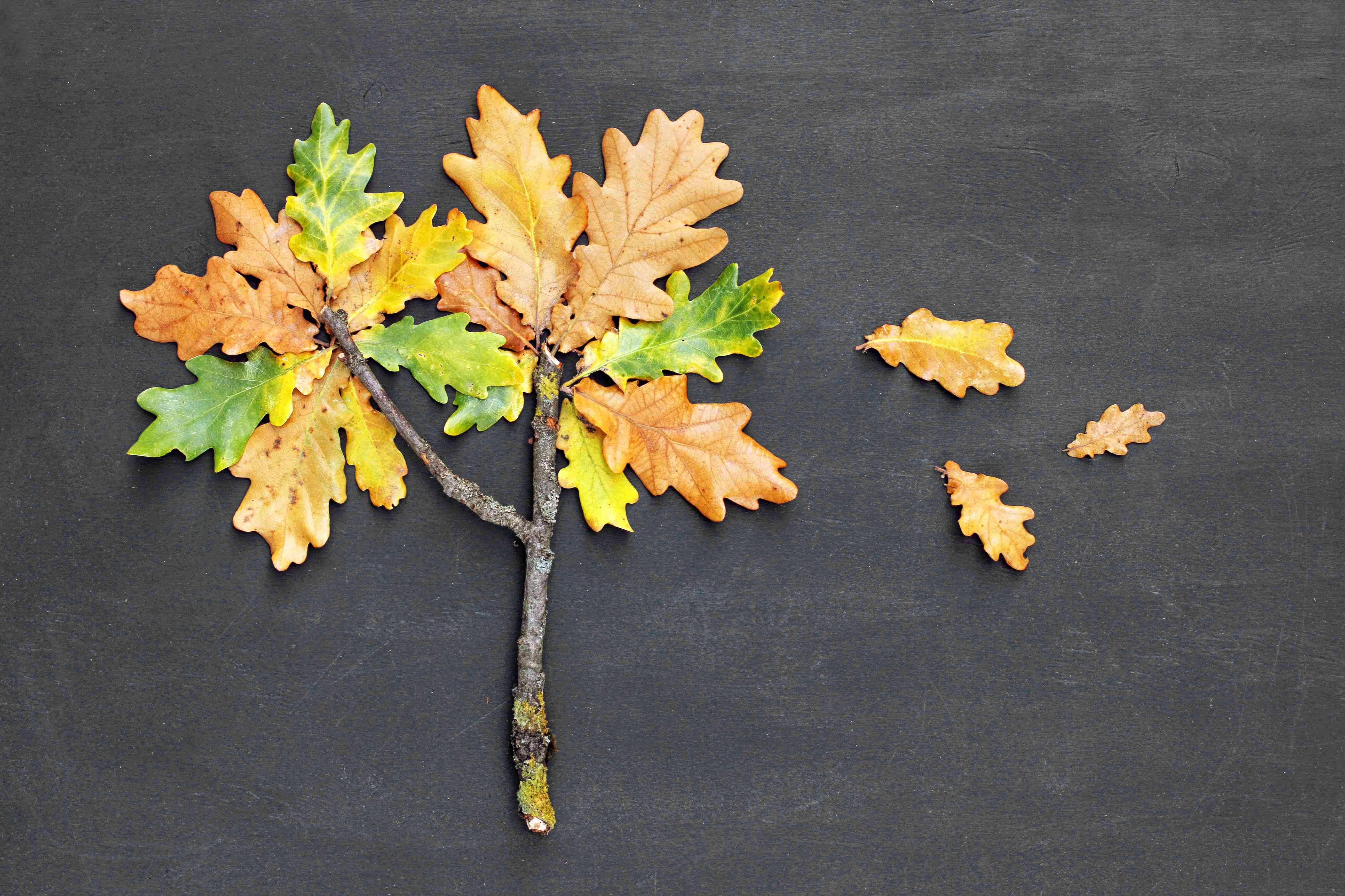 Autumn fall concept. Oak tree Quercus made from twig and yellow red leaves on blackboard background. Top view