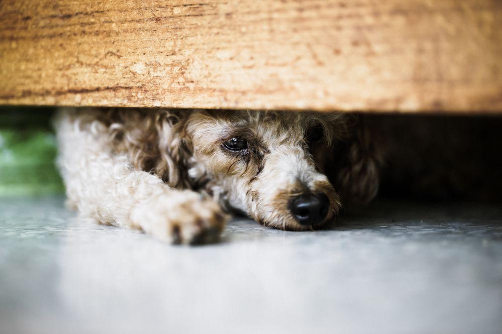 dog hiding under bed