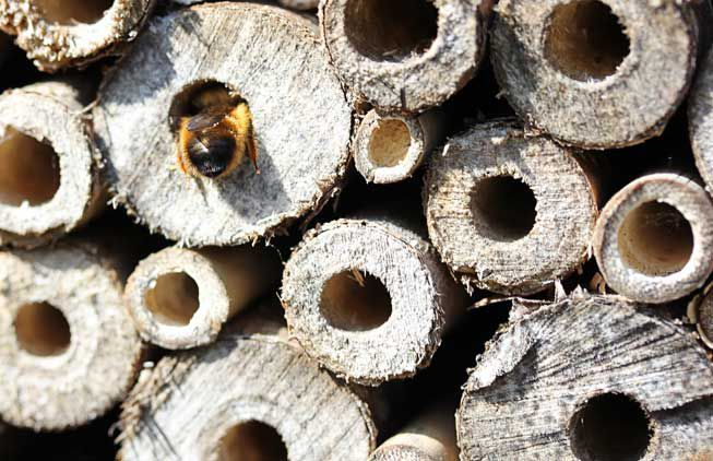 A bee crawling in a bee hotel's hole