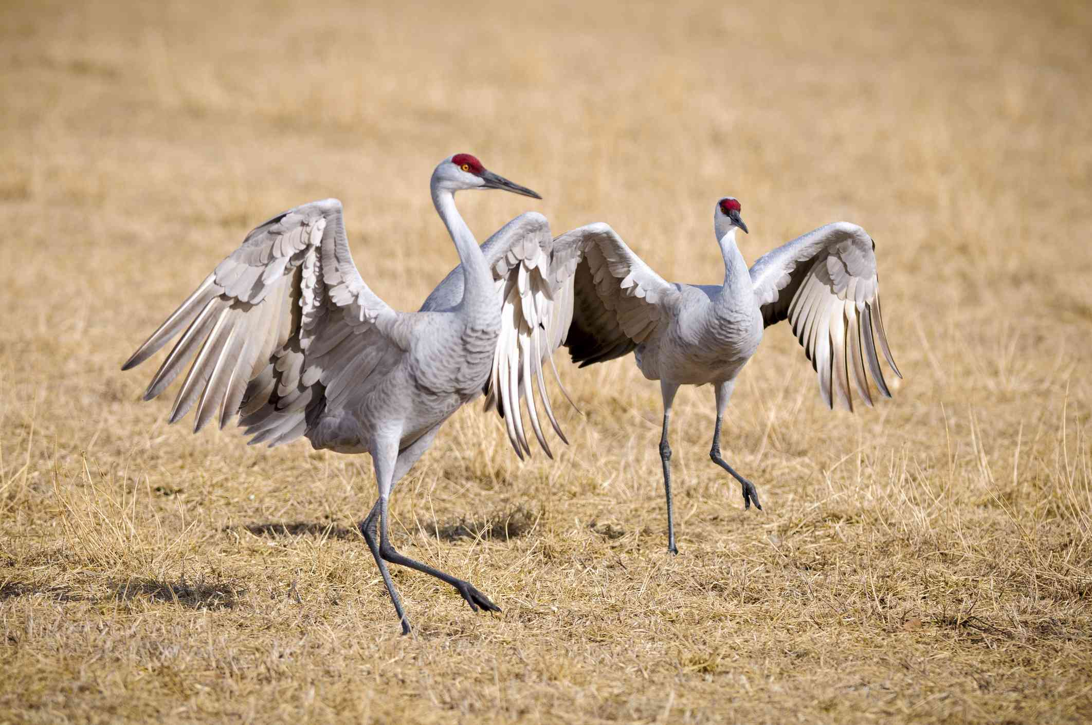 Pair of sandhill cranes standing with their wings outstretched in Bosque del Apache National Wildlife Refuge, New Mexico