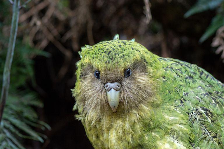A kakapo bird looks straight into the camera.