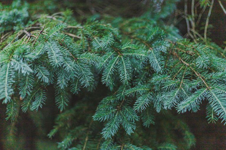 closeup of spruce fir needles in low light