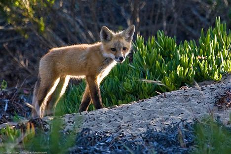 california red fox