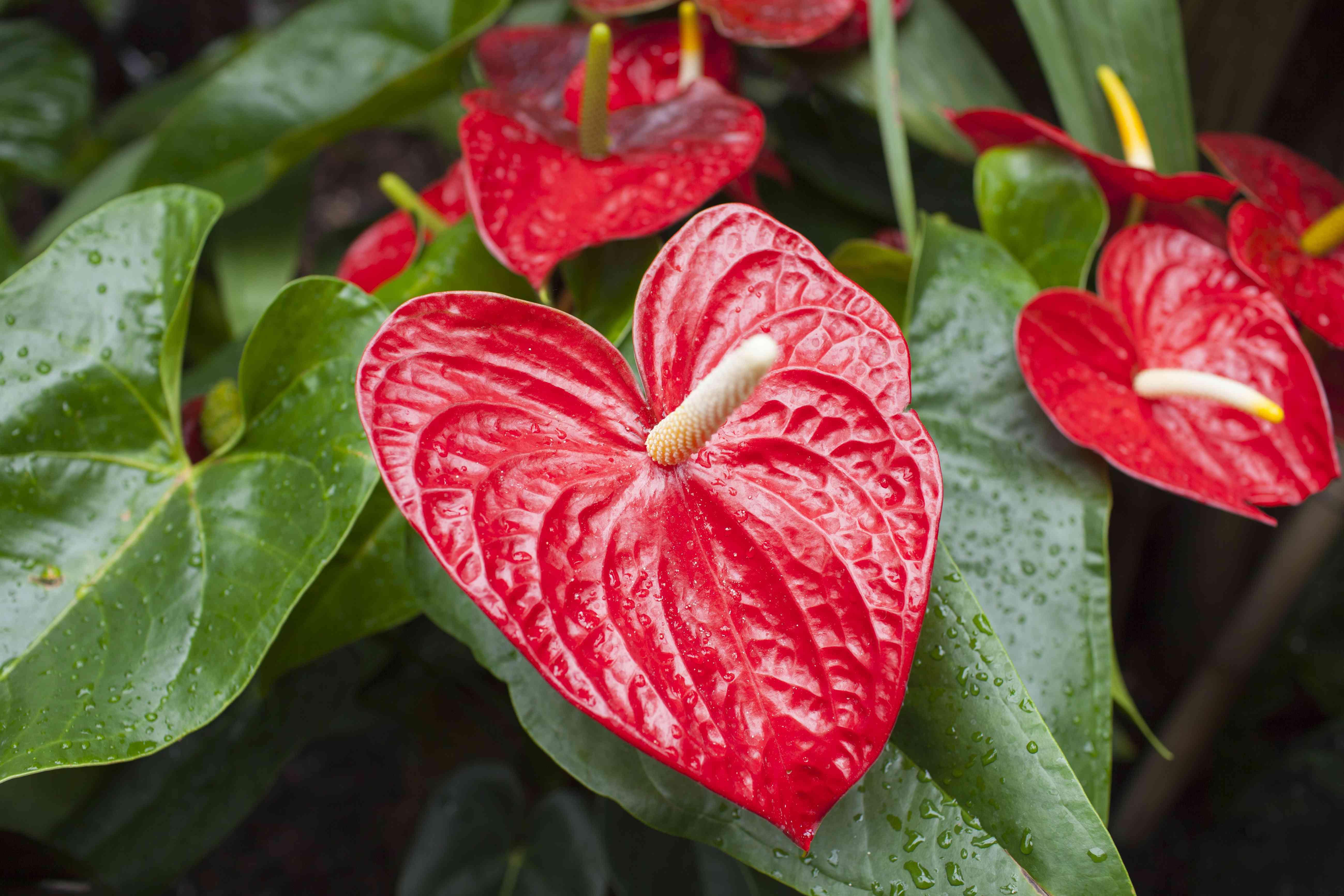 Red Anthurium Tropical Plant