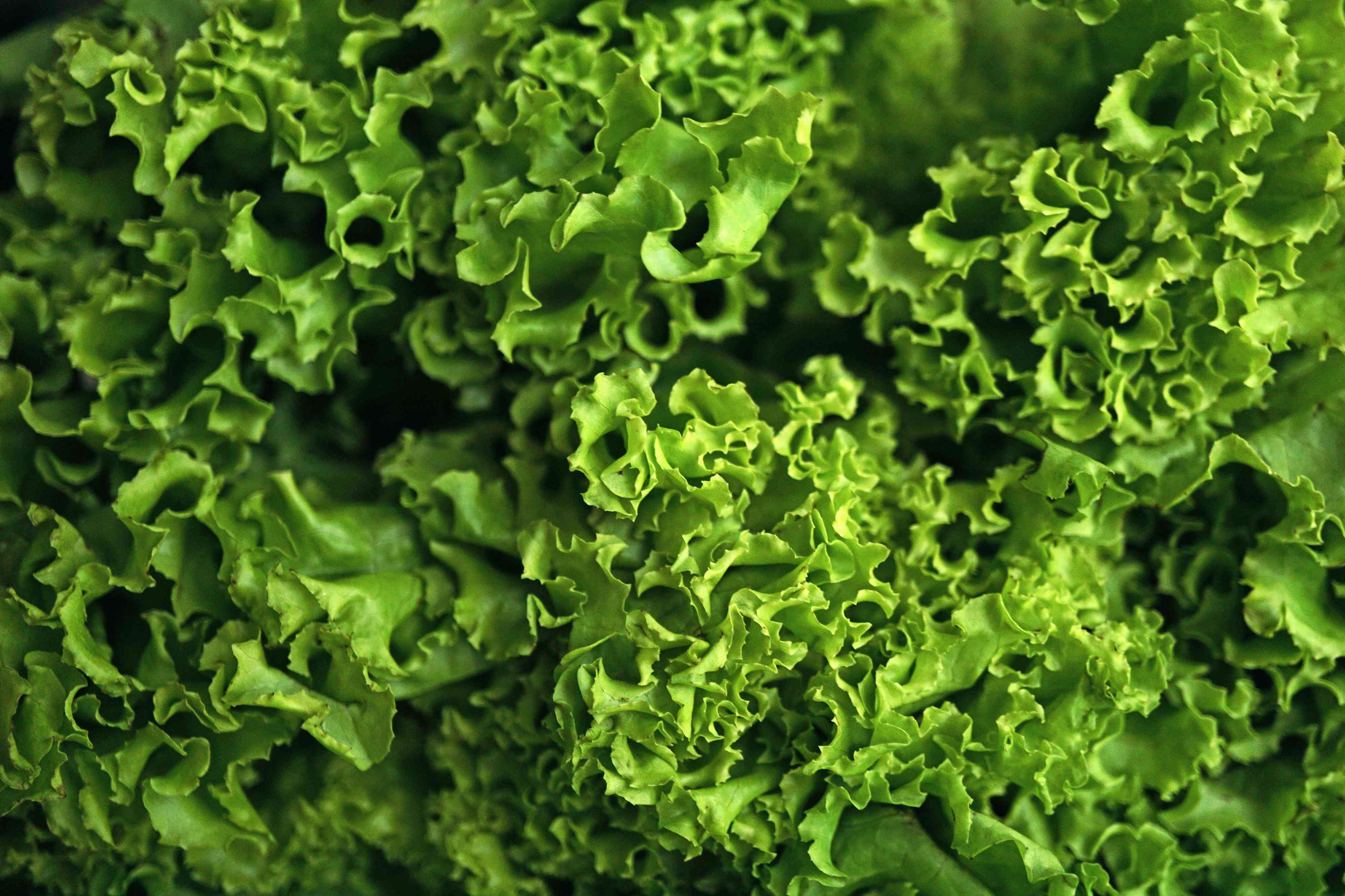 bright green lettuce leaves close up