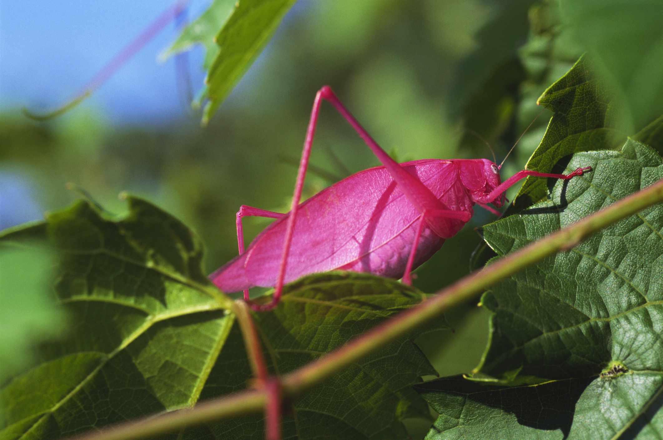 Pink Katydid walking on a vine