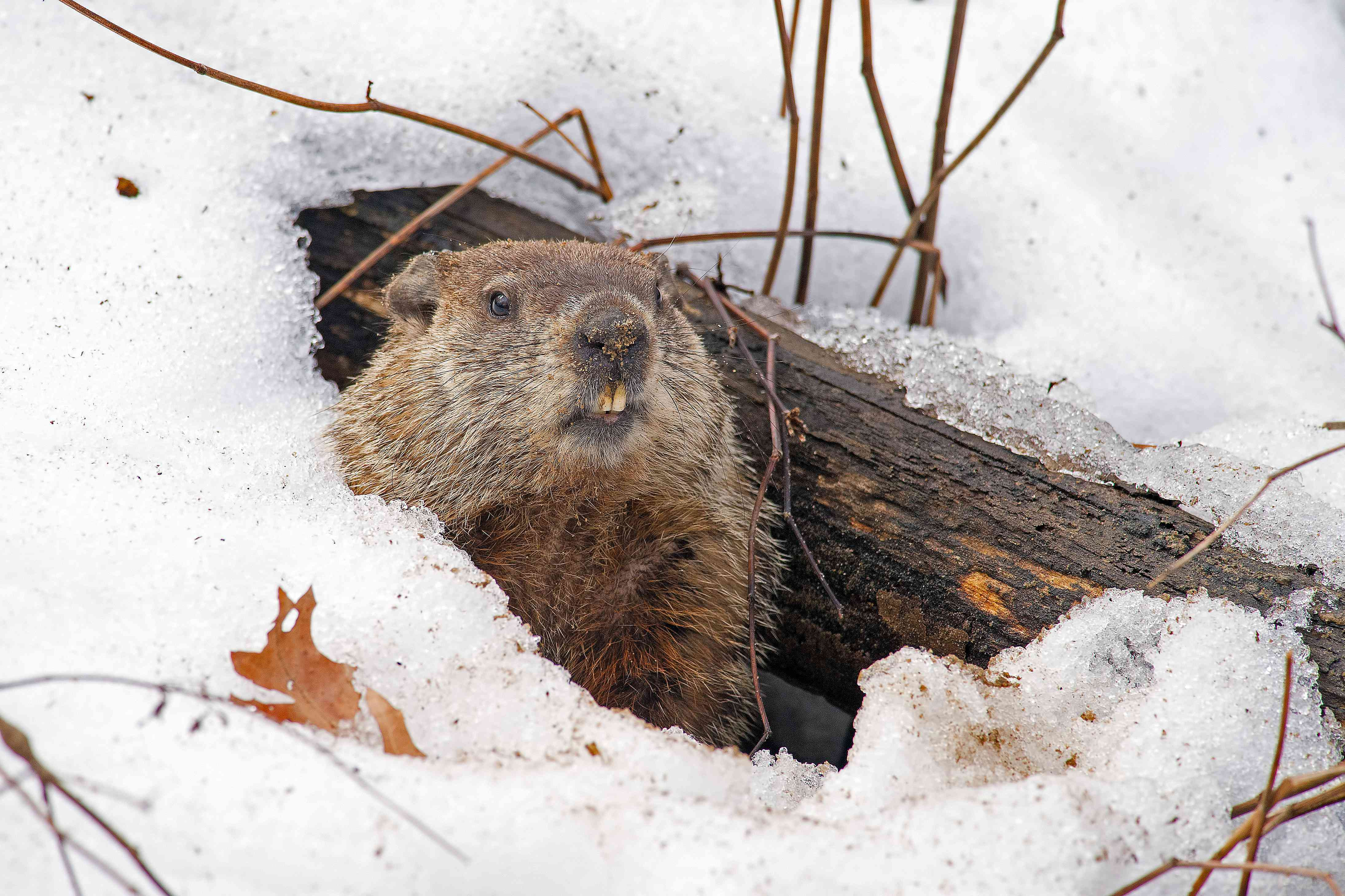 Groundhog emerging from snow covered den