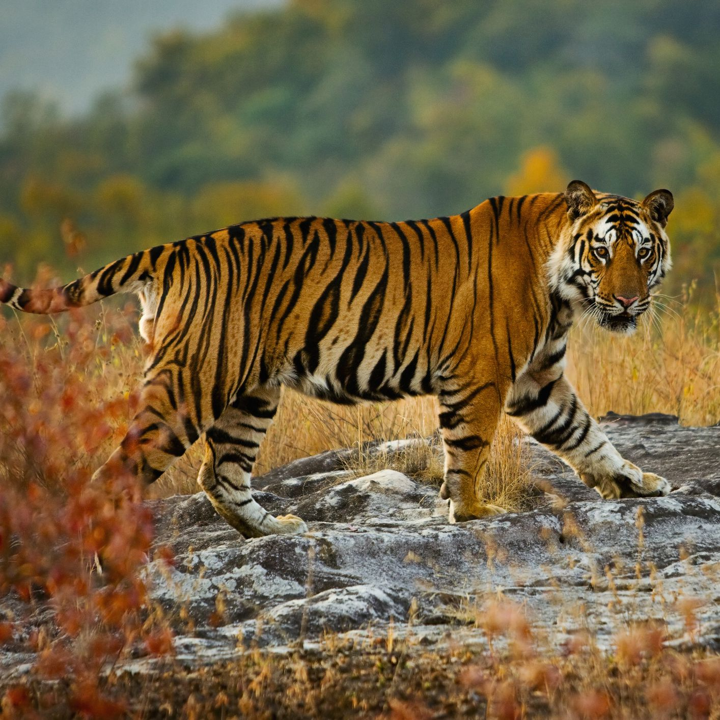 8 Amazing Bengal Tiger Facts
