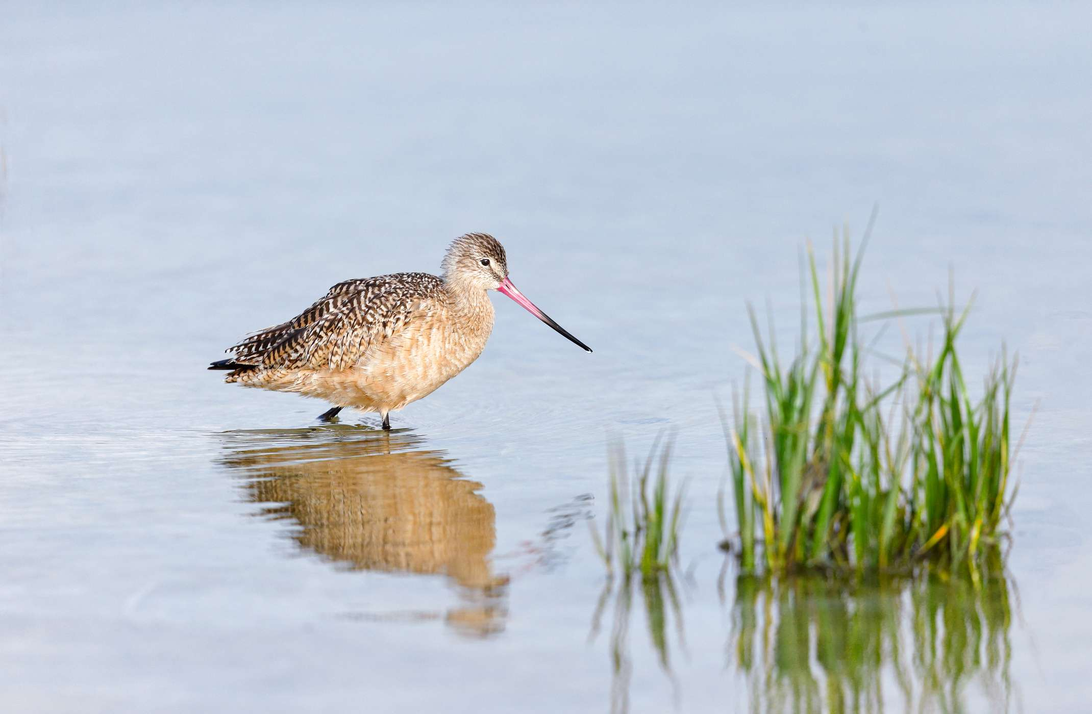 Long-billed curlew in shallow water