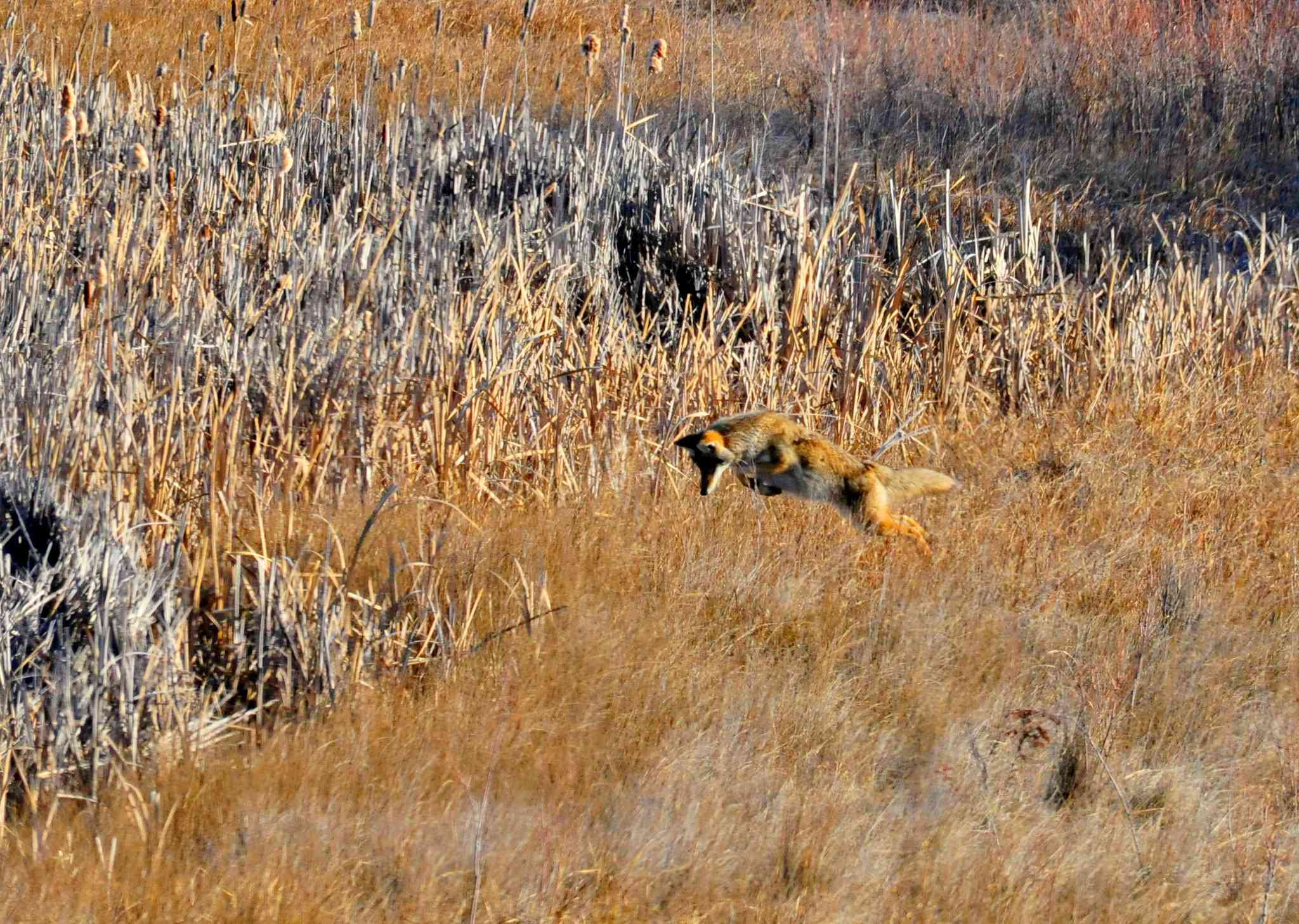 coyote hunting meadow voles by leaping in air
