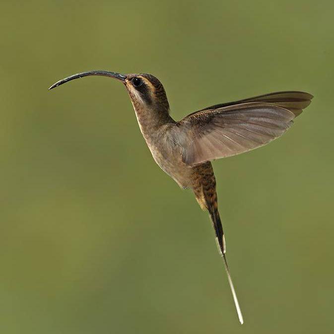17 Strange And Beautiful Hummingbird Species