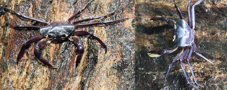 Nueva y extraña especie de cangrejo que vive enteramente en los árboles
