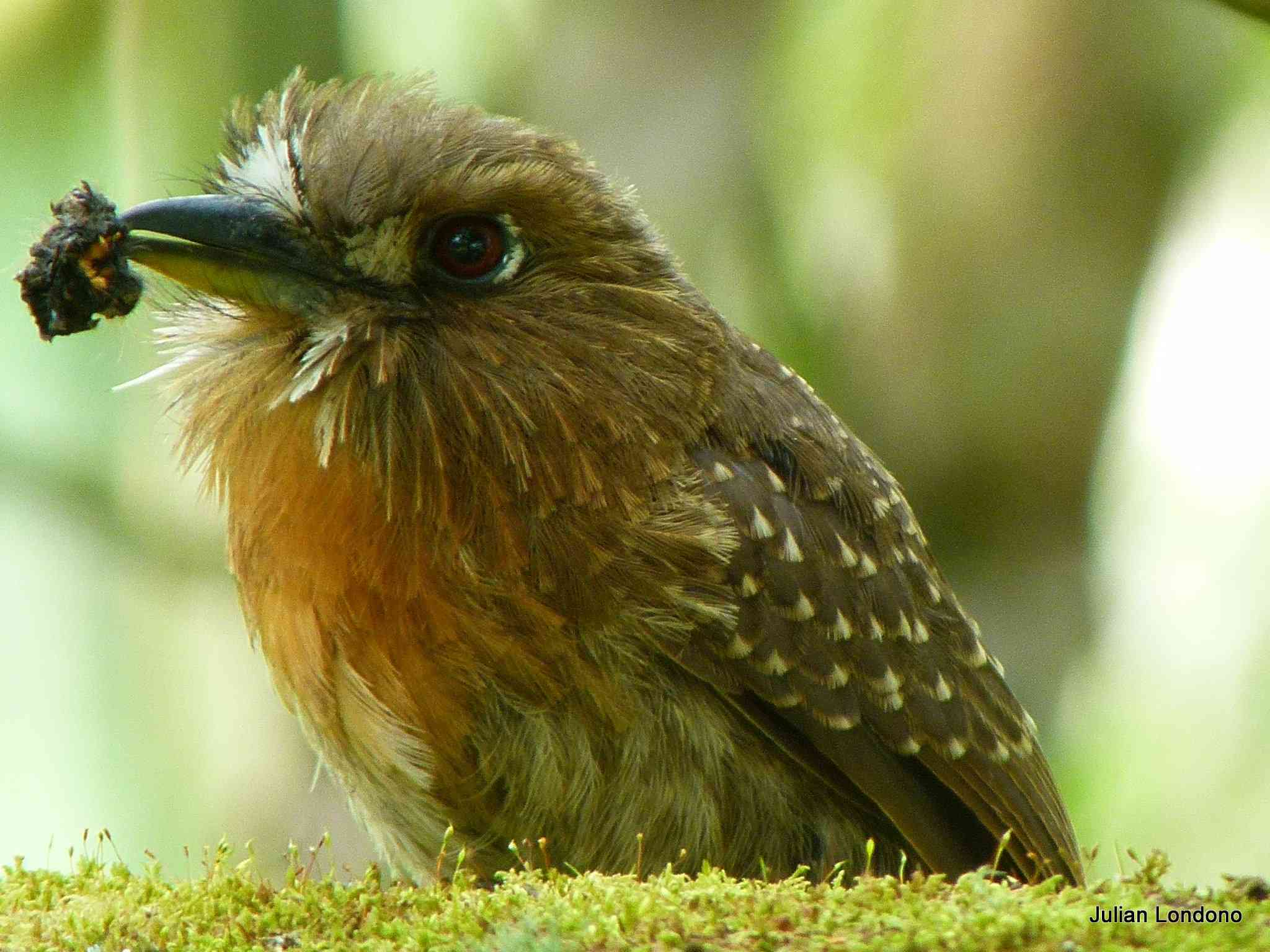 brown moustached puffbird sitting on grass