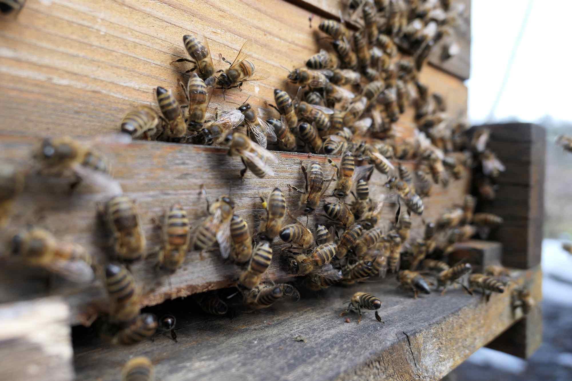 Honeybees in a bee yard