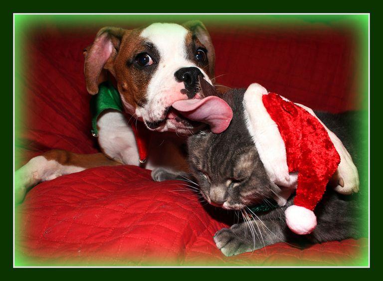 Boxer licks a cat wearing a santa hat