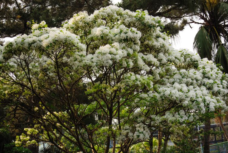 White fleecy blooms on the branches of a Fringe Tree.