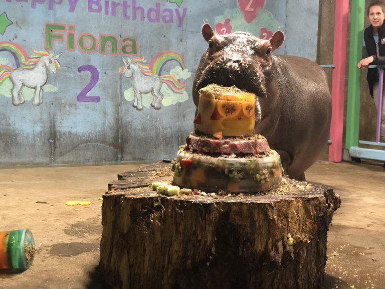 Fiona the Hippo eats birthday cake