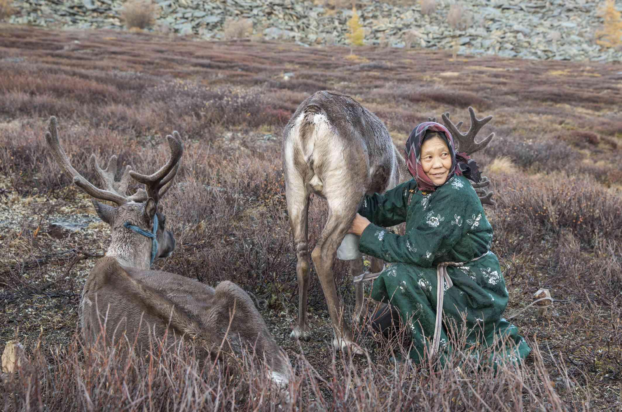 tsaatan woman milking a reindeer