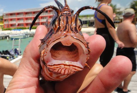 lionfish open mouth photo