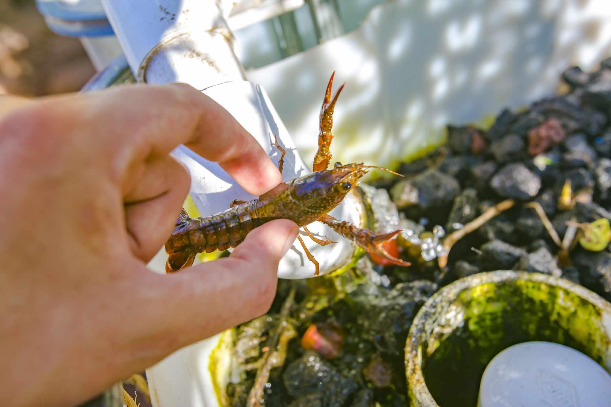 Using crawfish for an aquaponics system