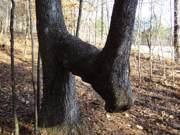 trail tree created by Native Americans