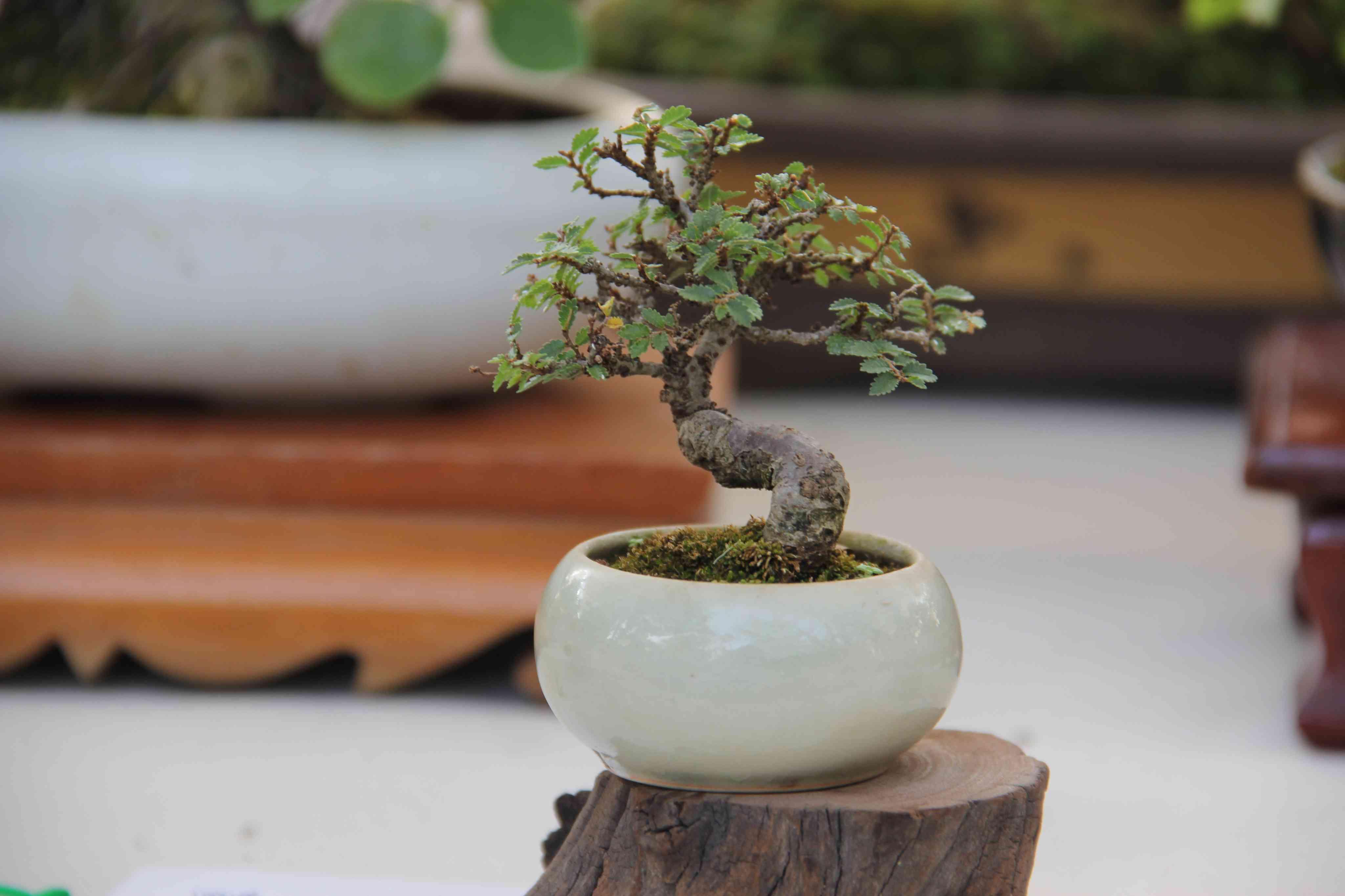Bonsai tree in a pot on a stump