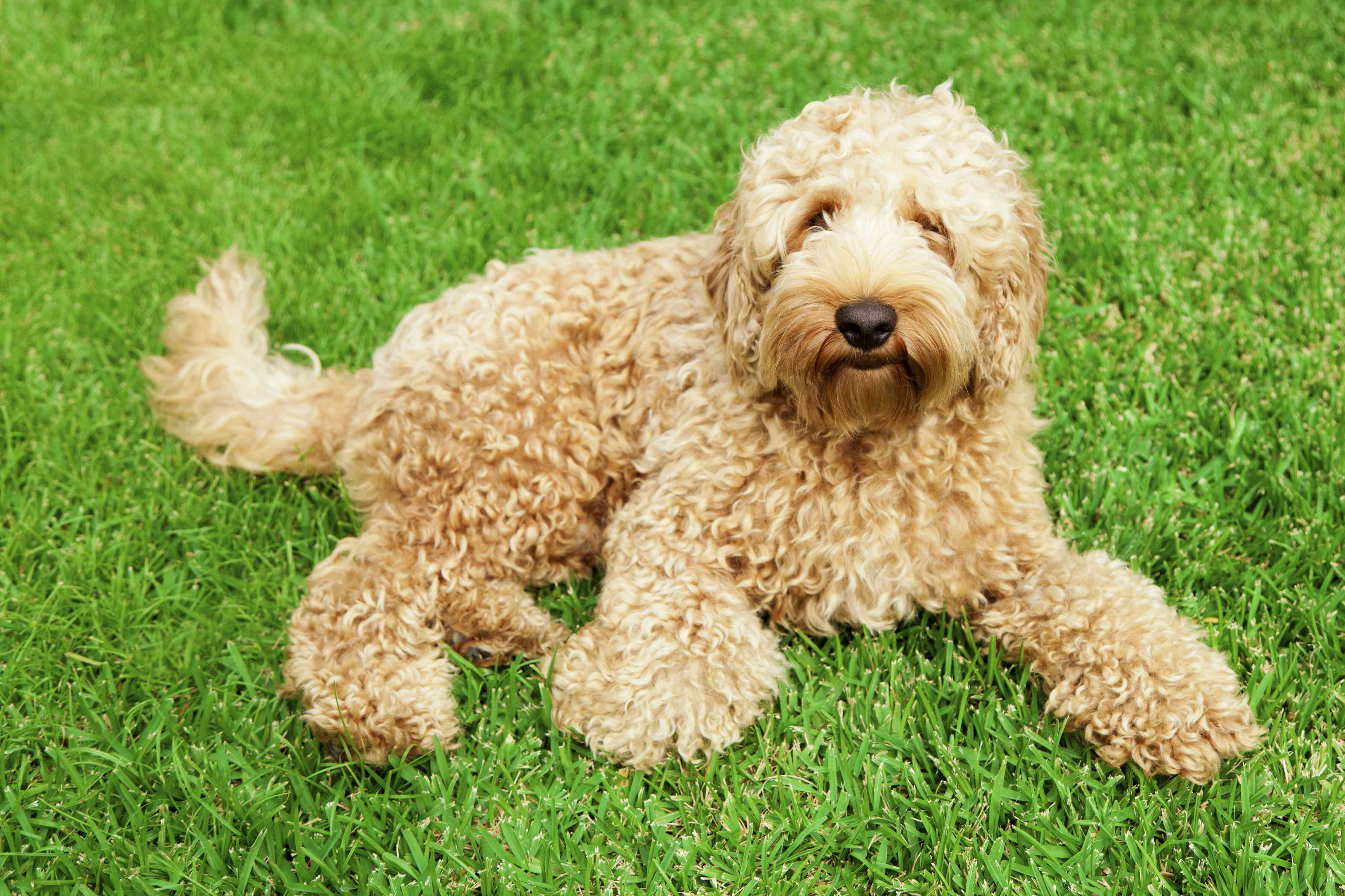 Labradoodle lying in a grassy field