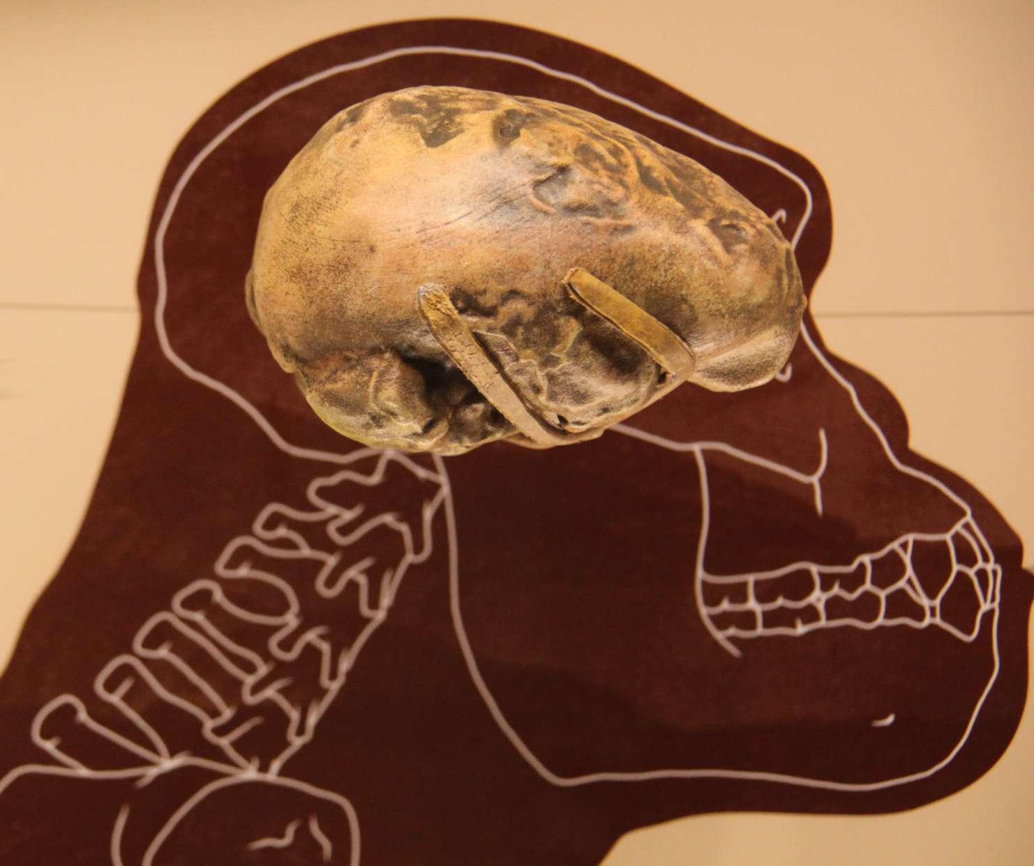 brain size of Australopithecus afarensis