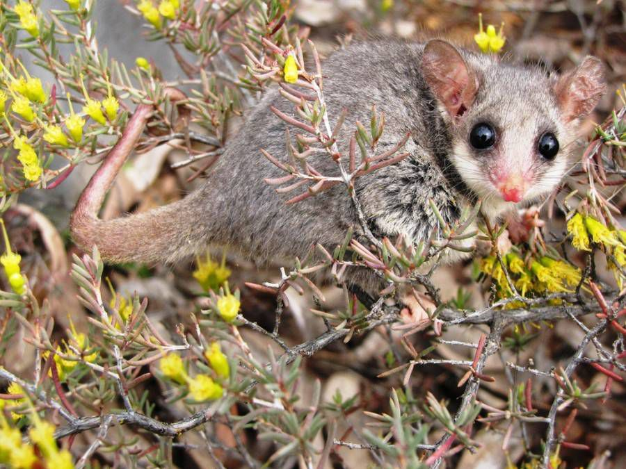 pygmy possum perched on small branches with yellow flowers